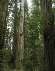 Высочайшее дерево победило Гиганта Стратосферы