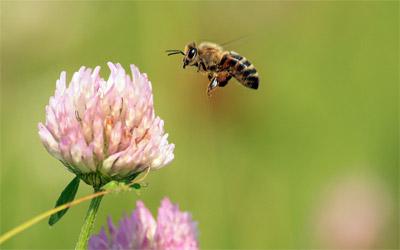 Спасти пчел помогут растения на вашем дачном участке