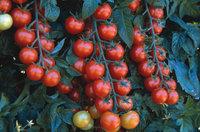 Советы по выращиванию помидоров