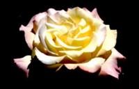 10 советов по срезке и продлению жизни роз