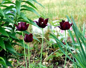 «Черные цветы»
