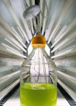 Японские ученые создали водоросли, вырабатывающие горючее