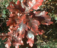 Осенняя листва дубов