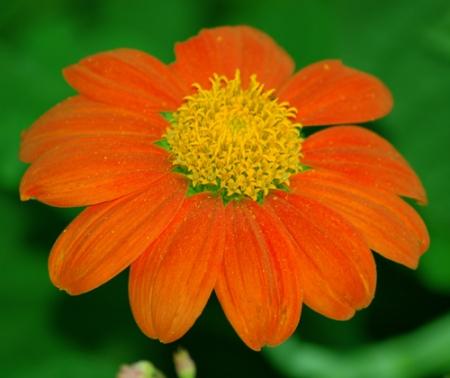 Цветок с оранжевыми цветами