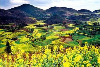 Золотое море цветов рапса в Лопине провинции Юньнань