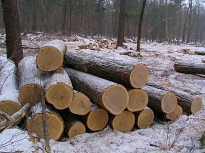 В Приморье уничтожаются ценные леса